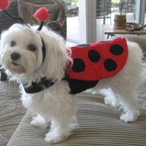 Houdini Clarke, Halloween 2009 ... he went as a lady bug .. of MY!
