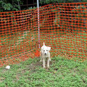 Pepe outside, yes our fence has a thick orange barrier. The dogs don't chew it in fact they don't touch it. It works! And prevents them from digging u