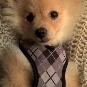 Baby Jaxon 4 months old.  My newest family member Pomeranian.  Hyper and needs help!  lol