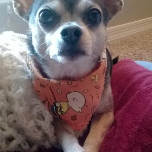 My 12 year old Chihuahua, Dew.  I have had him since he was 5 weeks old.