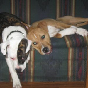 --Eva and friends-- Eva&Reefer grown up -Purebred Red Nose Pitbulls