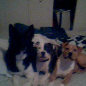 --Eva and friends-- Eva&Reefer  -Purebred Red Nose Pitbulls  MJ -Bernese Mountain Dog/ German Shepard mix