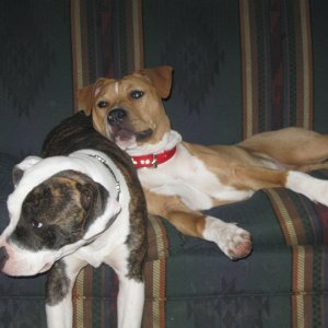 --Eva and friends-- Eva&Reefer  -Purebred Red Nose Pitbulls