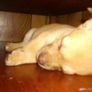Baby Blondie sleeping on the shelf of an end table, she got huge lol