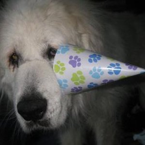 Our beautiful Del, a great pyrenees on her 14th birthday!