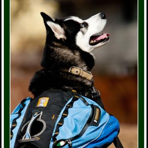 Bhanu, a husky who took well to his back pack :)