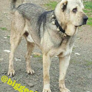 Original Kurdish Dog Breed Kurdish Shepherd Dog Kurdish Dog Breed Kurdish Dog Pshdar Dog Pejdar Dog Pzhdar Dog Pezhdari Dogs Assyrian Shepherd Dog Ass