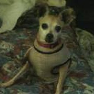 babe is a deer head chihuahua that i adopted in feb.from a shelter in oklahoma city  after i lost my applehead chihuahua Nacho in a house fire.