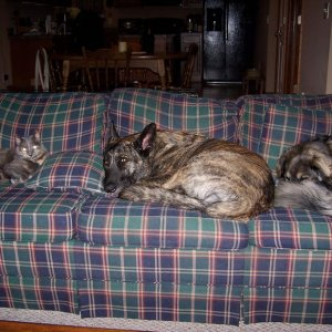 Can't imagine why the couch is always covered in fur....Kneesaa, Nico, and Enzo.