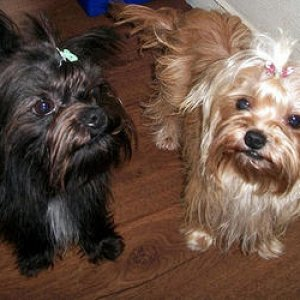 Mother's dogs, Sascha (blond) & Kyra (black)
