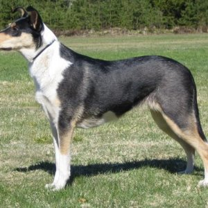 tricolour smooth collie