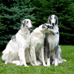 3 borzoi hounds