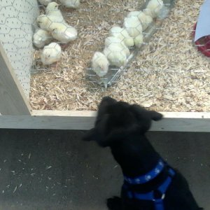meeting the chicks