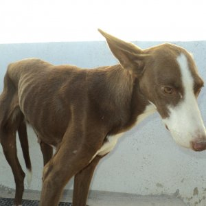 Shy podenco, saved from a gallows tree