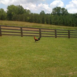 Chasing chickens!