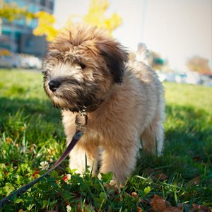 Marty the Wheaten Terrier - 4 months