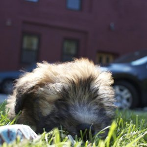 Marty the Wheaten Terrier - 3 months